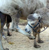 k77/02_car-free-day_camel_20010922 (85KB)